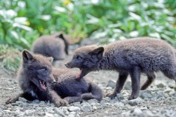 800px-Fox_pups_animals