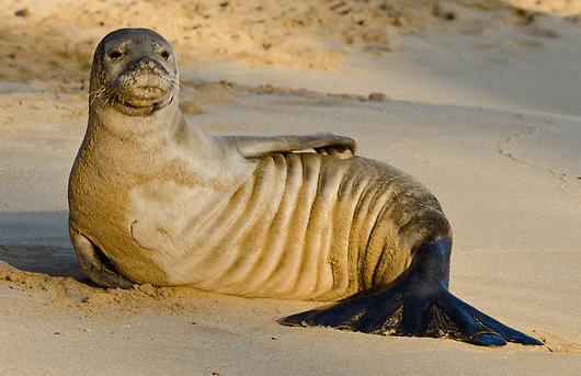 Hawaiian-Monk-Seal-facts-image-1